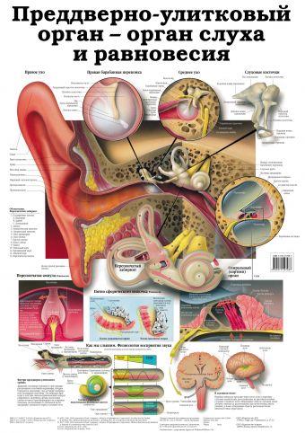 Анатомическое строение внутреннего уха. Преддверно-улитковый орган - орган слуха