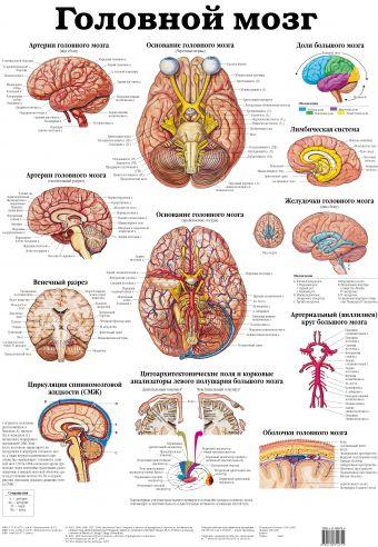 Головной мозг. Черепные и спинно-мозговые нервы