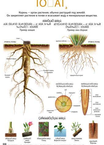 Корень. Прорастание семян