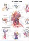 Голова и шея. Позвонки и позвоночный столб