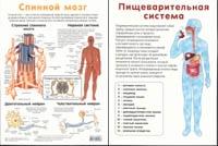Спинной мозг. Пищеварительная система