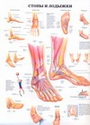 Стопы и лодыжки. Тазобедренный и коленный сустав