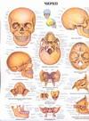 Череп. Анатомия зубов